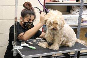 Sophomore Angelina Melendez shaves the dog of one of the campus' staff members. In the ag wing, the agriscience science program has a full space area in the lab dedicated to dog grooming, with a professional stainless steel grooming tub.